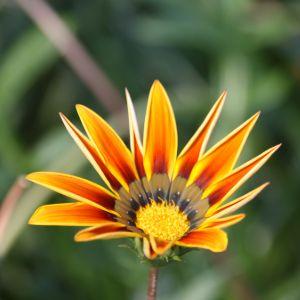 gazania flower close up