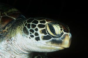 green turtle close up of head at night