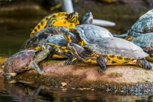group of yellow bellied sliders basking on rock and stacking
