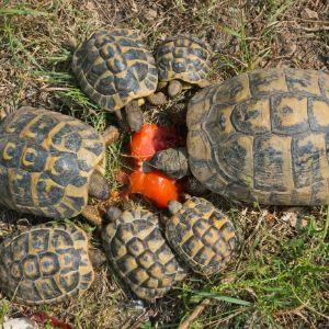 hermanns tortoises eating watermelon