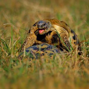 hermanns tortoises mating