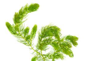 hornwort (ceratophyllum-demersum)