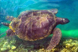 kemp's ridley sea turtle (lepidochelys-kempii)
