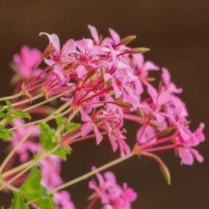 pink geraniums with soft bokeh