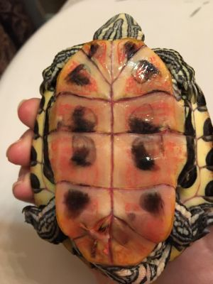plastron of red ear slider with septicemia