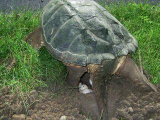 pregnant turtle
