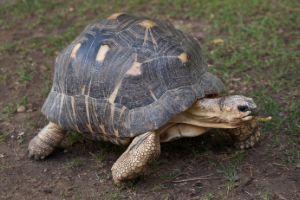 radiated-tortoise-walking-around
