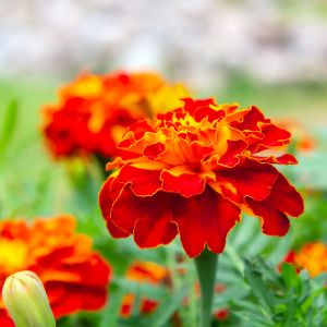 red marigolds in a flower bed in the garden close up