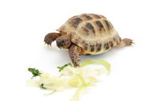 russian tortoise eating cabbage