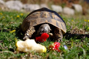 tortoise eating strawberries