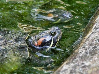 turtles for ponds