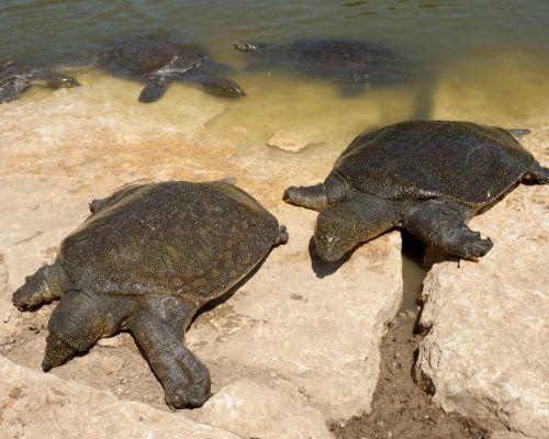 two African Softshell Turtles (Nile Softshell Turtles)
