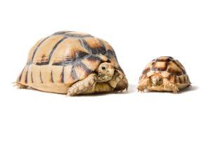 two Egyptian tortoises also known as the kleinmann's tortoise next to each other