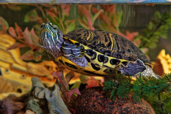 yellow bellied turtle swimming in clean tank