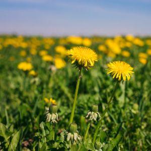 yellow dandelions on the field in daylight