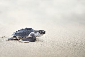 young olive ridley (lepidochelys-olivacea)
